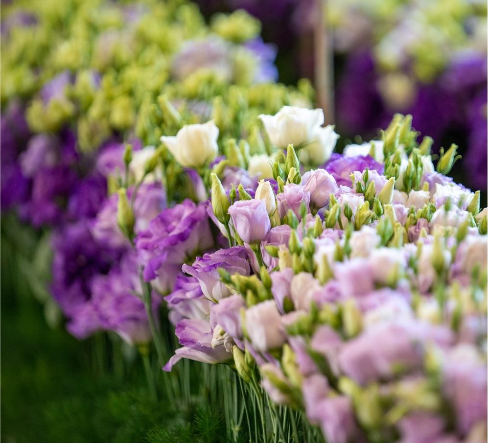 Lisianthus Flower - Sakata's Finest