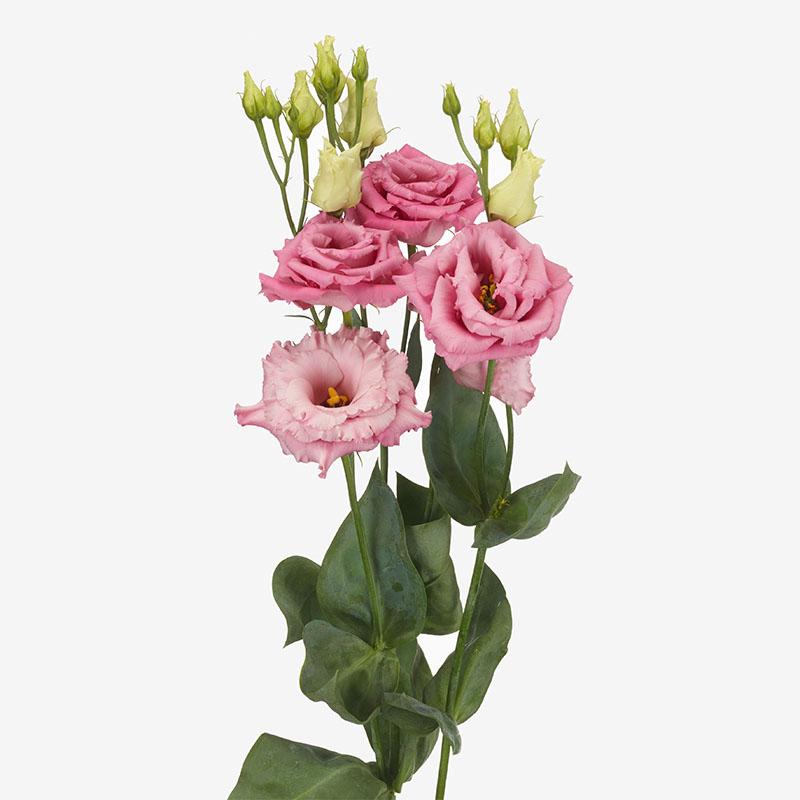 Lisianthus Alissa 1 Rose