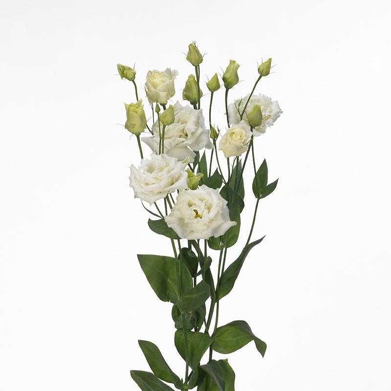 Lisianthus Alissa 1 White