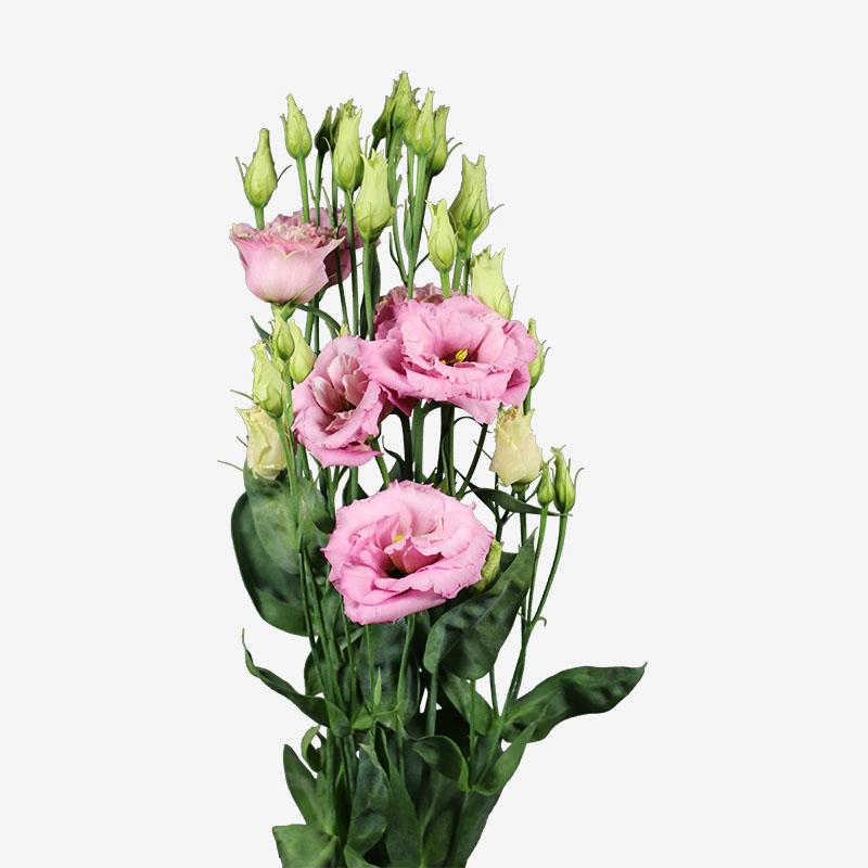 Lisianthus Alissa 2 Light Pink