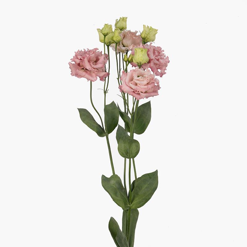 Lisianthus Alissa 2 Pink