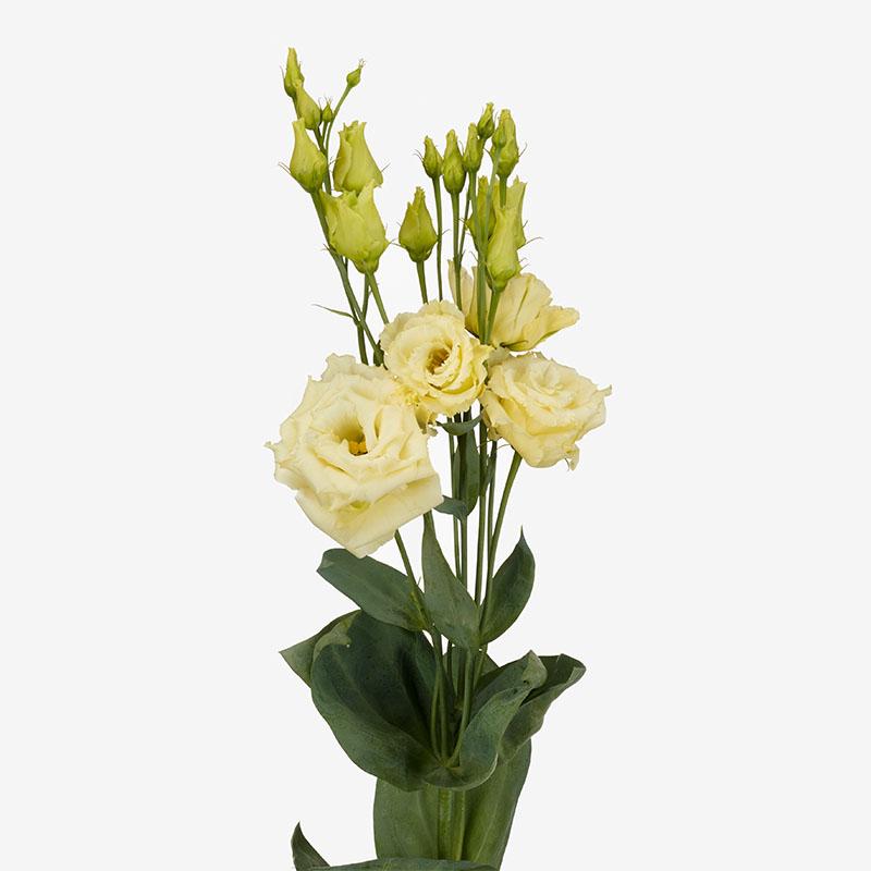 Lisianthus Alissa 2 Yellow