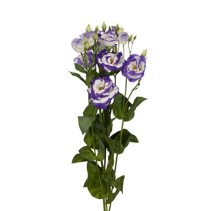 Lisianthus Aube 3 Blue Picotee