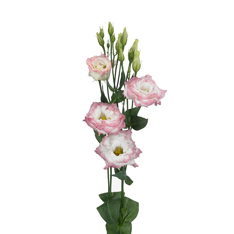 Lisianthus Aube 3 Pink Picotee