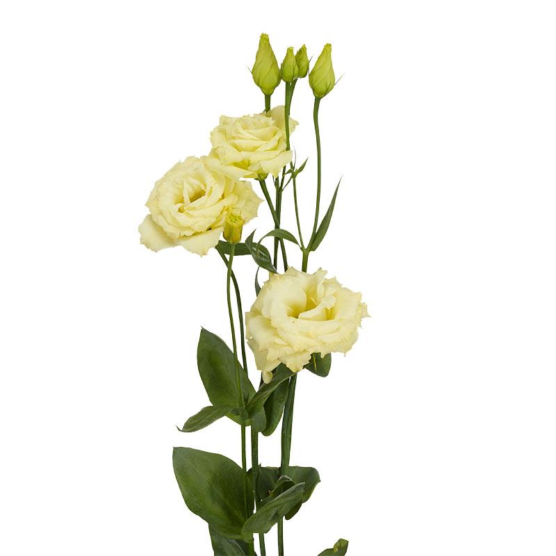 Lisianthus Aube 3 Yellow