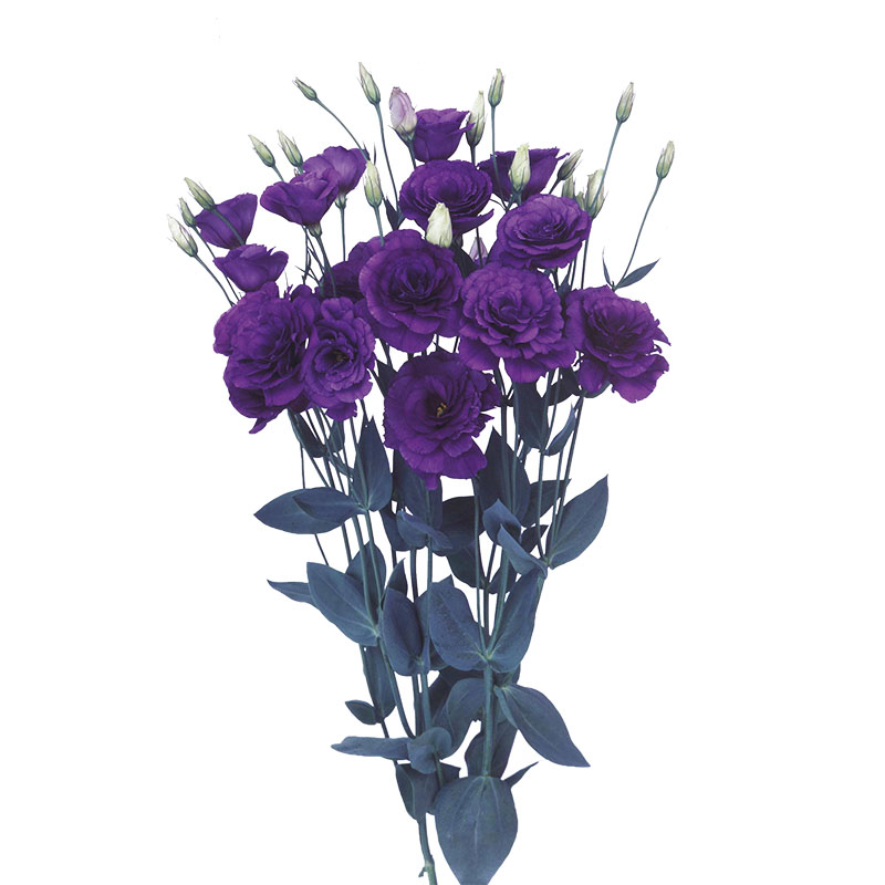 Lisianthus Borealis Blue