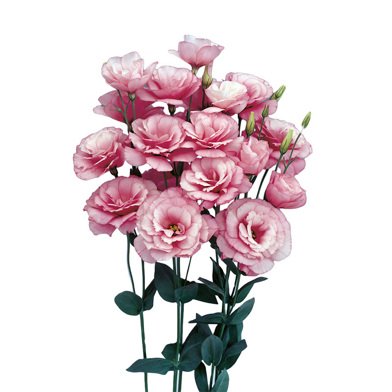 Lisianthus Borealis Pink