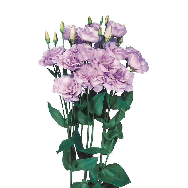 Lisianthus Echo Lavender