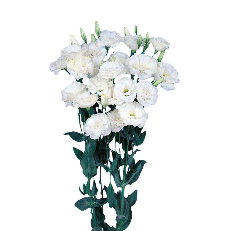 Lisianthus Echo Pure White