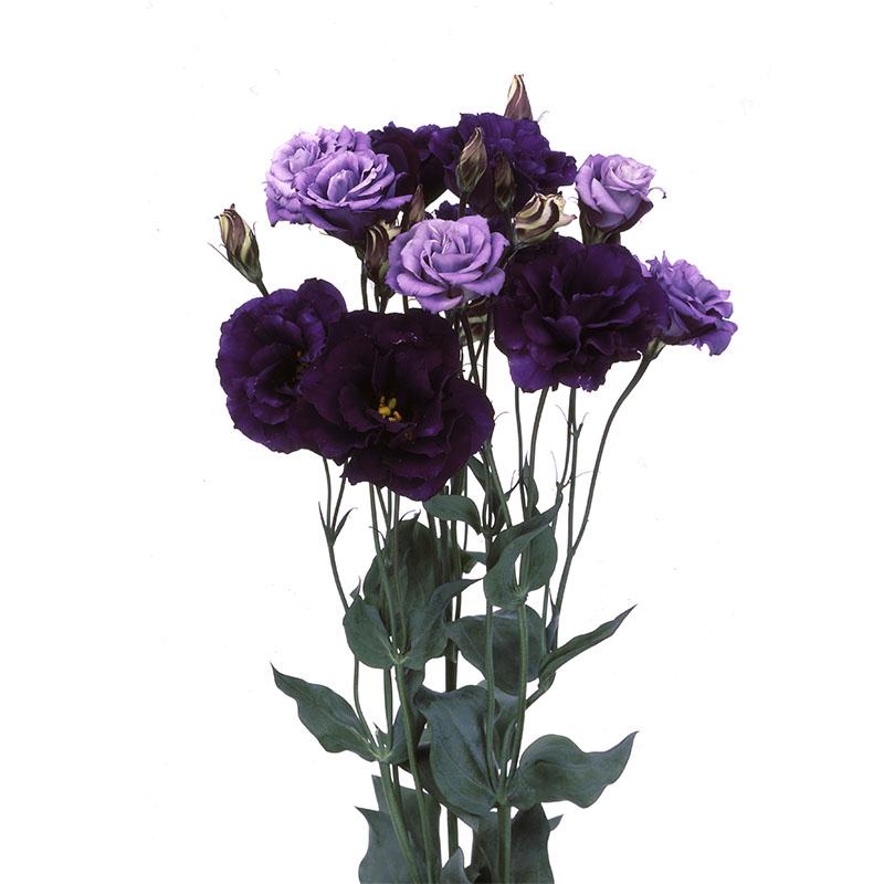 Lisianthus Echo Purple