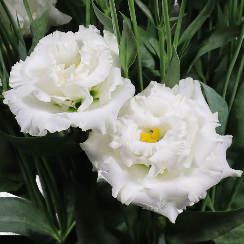 Lisianthus Alissa 1 Pure White