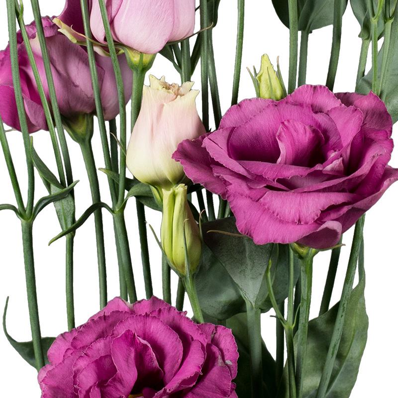 Lisianthus Aube 3 Rose Pink