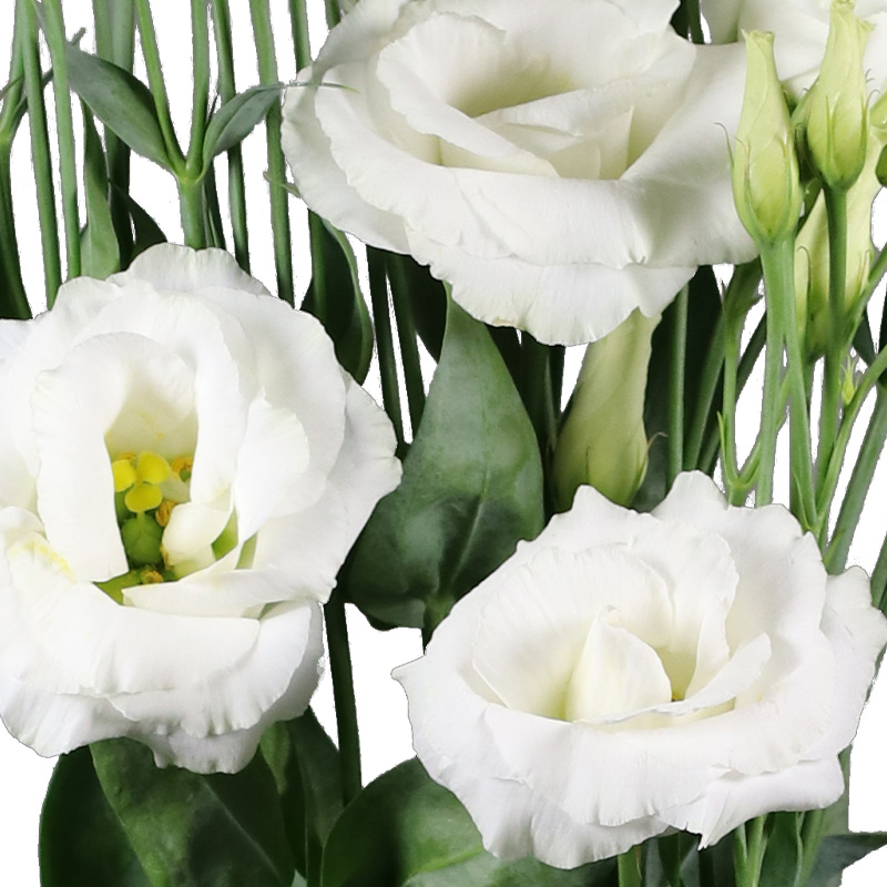 Lisianthus Aube 3 Pure White