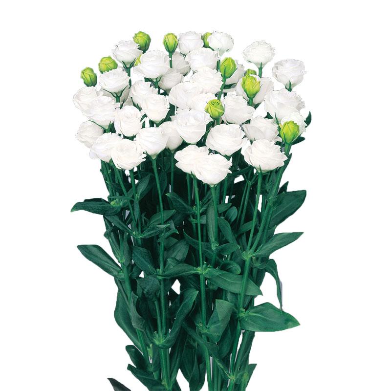 Lisianthus Doublini White