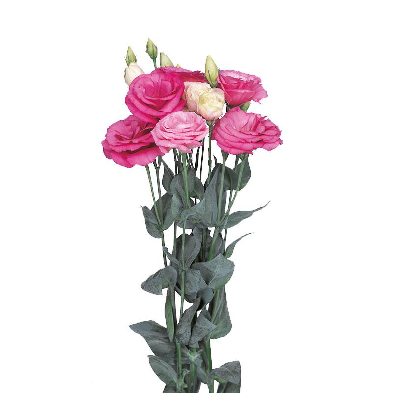 Lisianthus Excalibur 2 Rose Pink