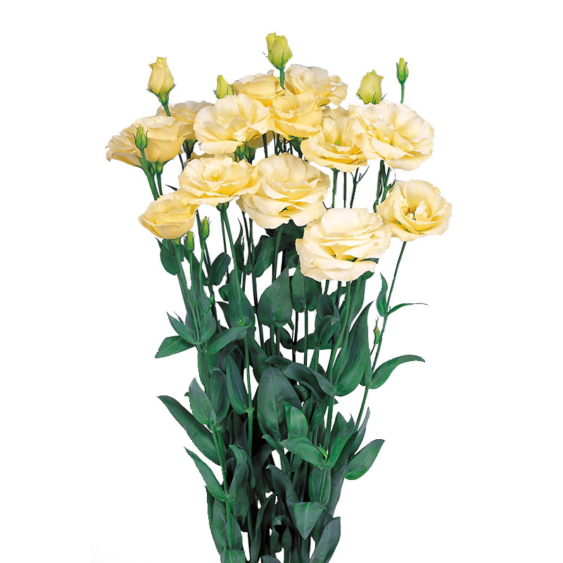 Lisianthus Excalibur 2 Yellow