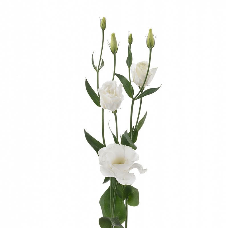 Lisianthus Excalibur 3 Pure White