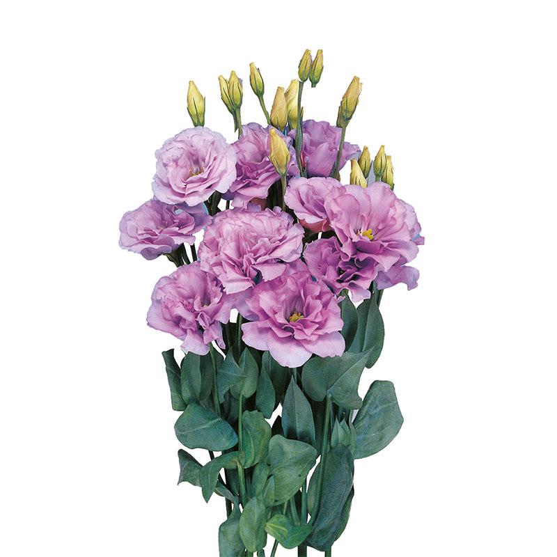 Lisianthus Mariachi Lavender