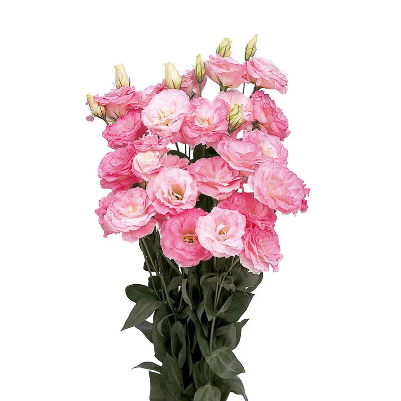 Lisianthus Mariachi Misty Pink