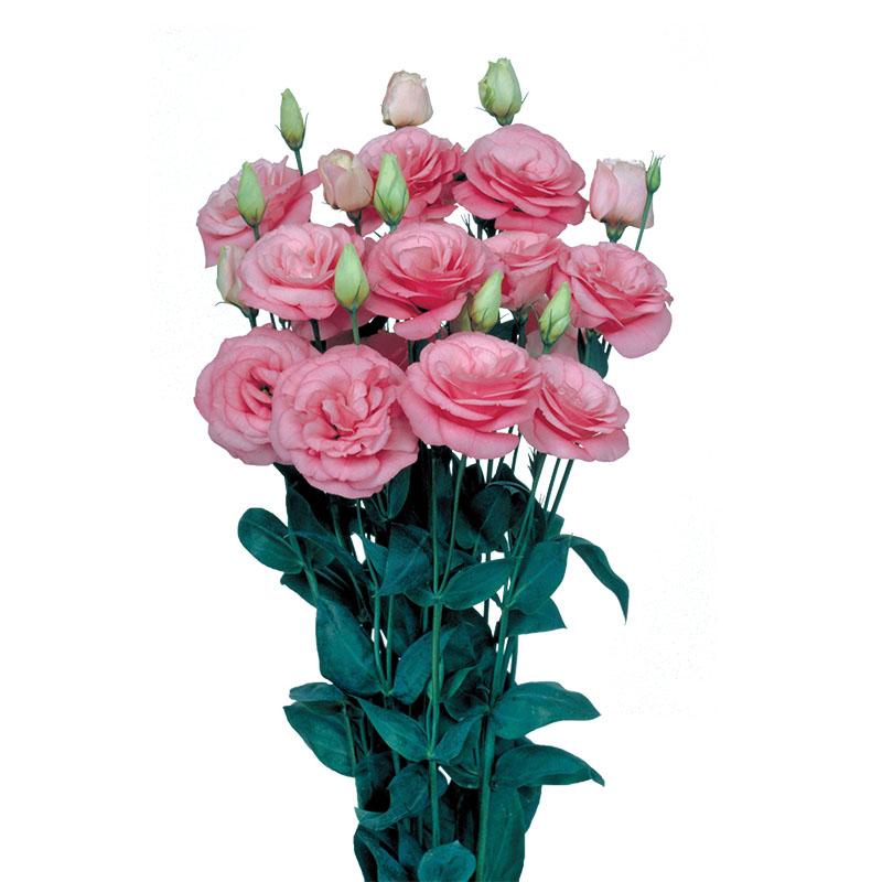 Lisianthus Mariachi Pink