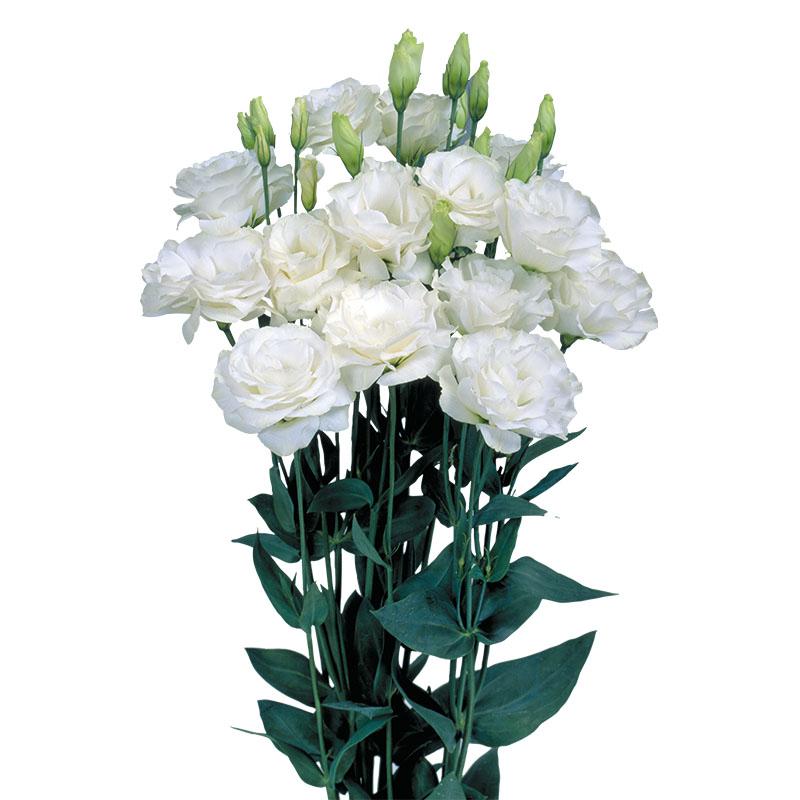 Lisianthus Mariachi Pure White