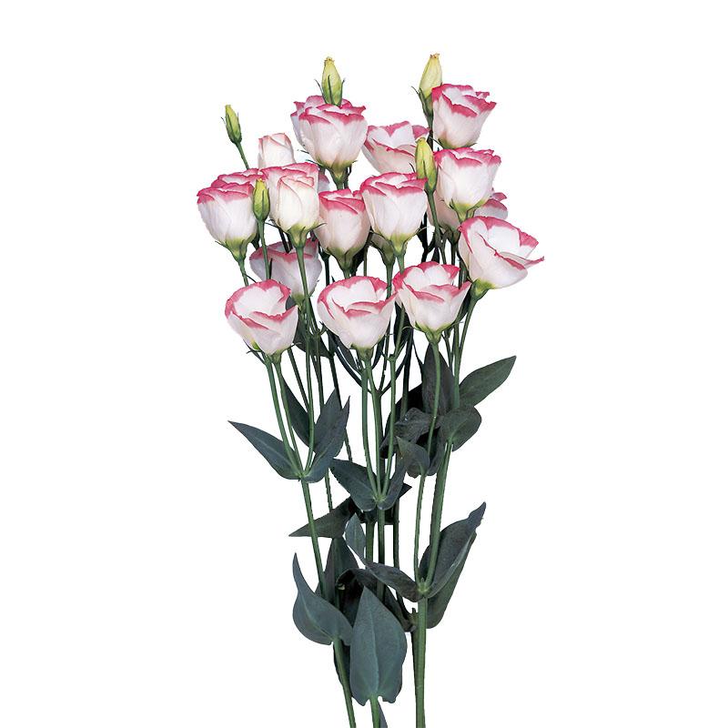 Lisianthus Piccolo 1 Pink Rim