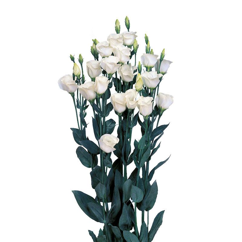 Lisianthus Piccolo 1 Pure White