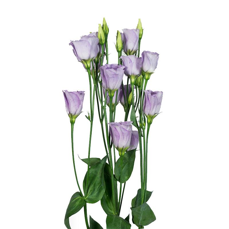Lisianthus Piccolo 2 Lavender