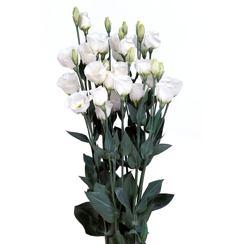 Lisianthus Piccolo 2 Pure White