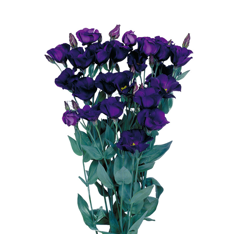 Lisianthus Piccolo 2 Violet