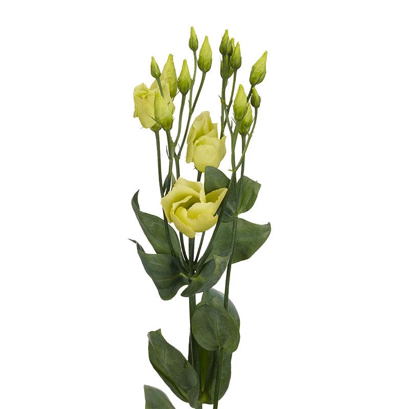 Lisianthus Piccolo 3 Jade