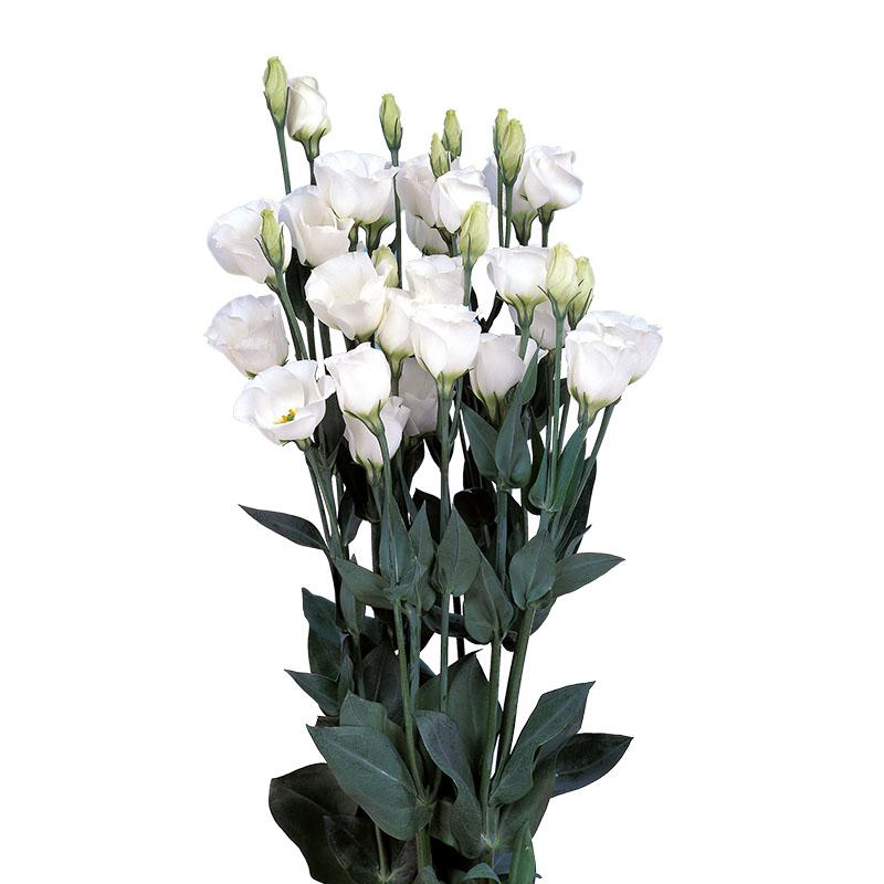 Lisianthus Piccolo 3 Pure White