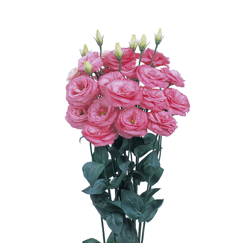 Lisianthus Robella Clear Pink