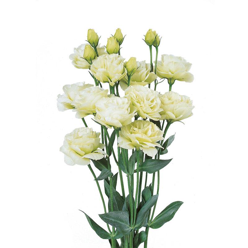 Lisianthus Rosita 1 Green