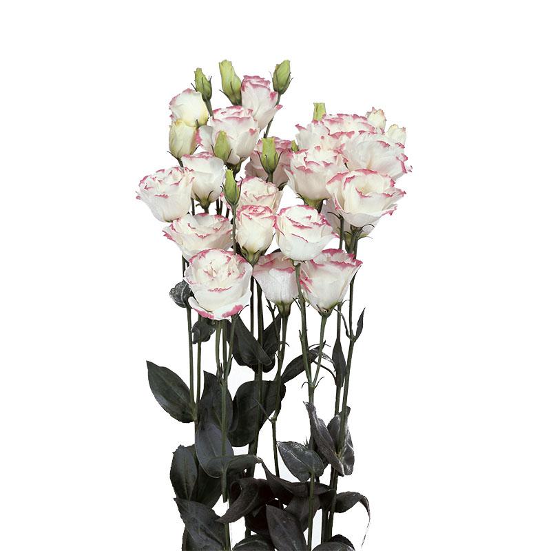 Lisianthus Rosita 1 Pink Picotee