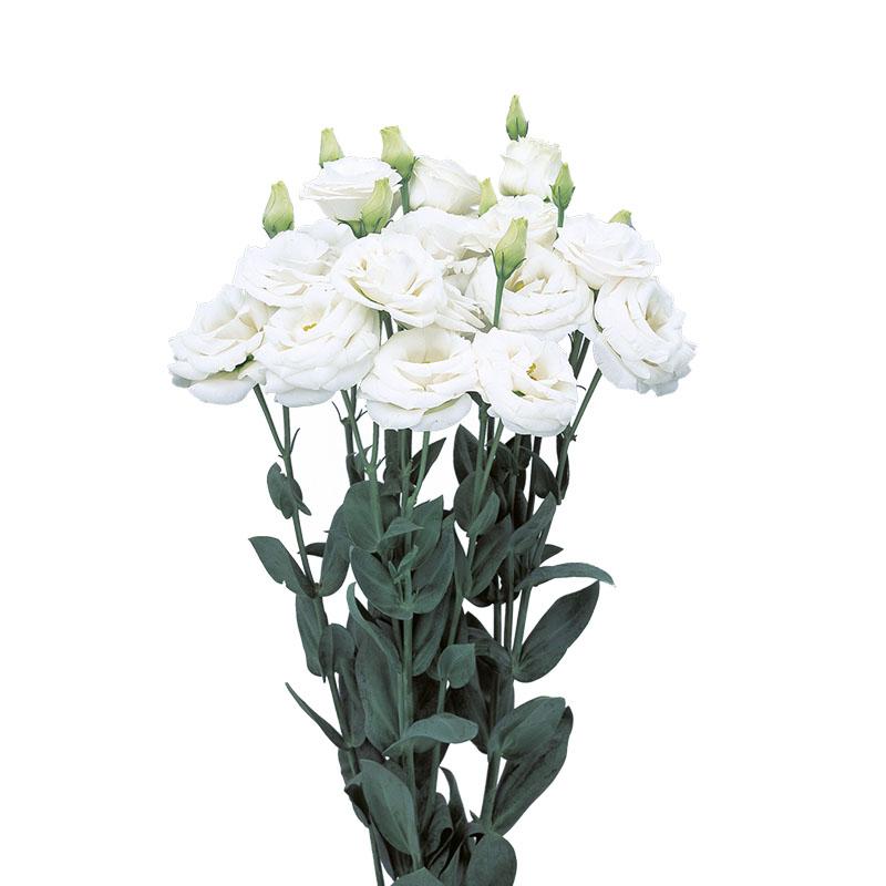 Lisianthus Rosita 1 White