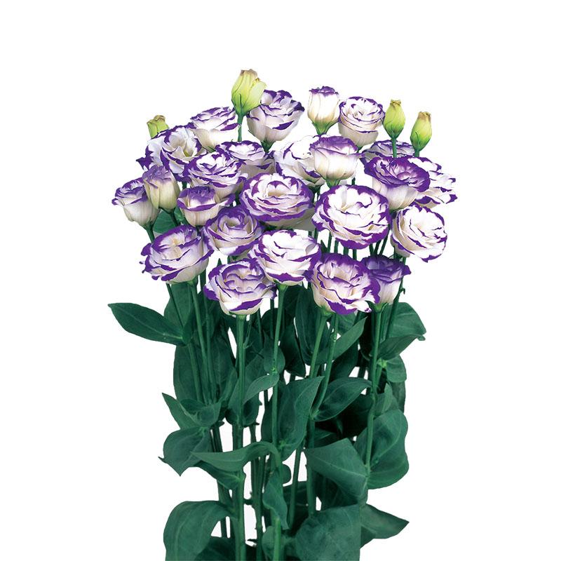 Lisianthus Rosita 2 Blue Picotee
