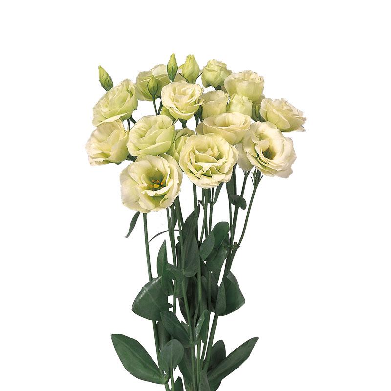 Lisianthus Rosita 2 Green