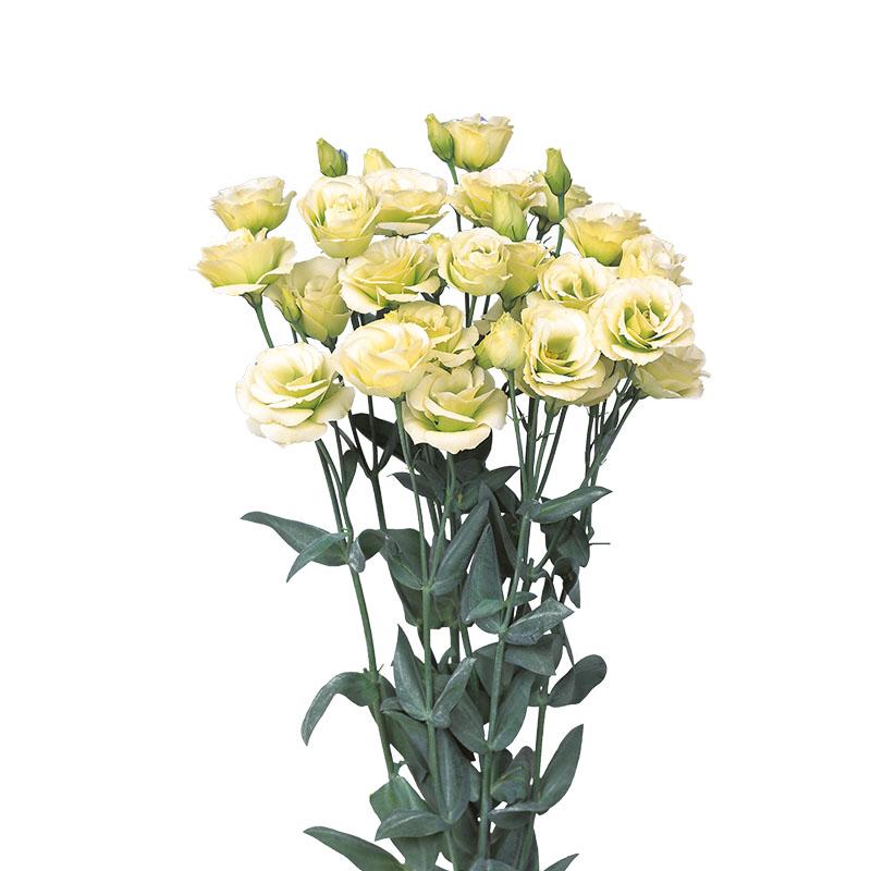 Lisianthus Rosita 2 Jade
