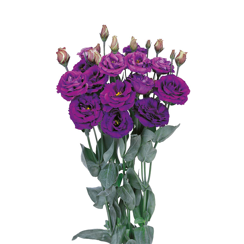 Lisianthus Rosita 2 Purple
