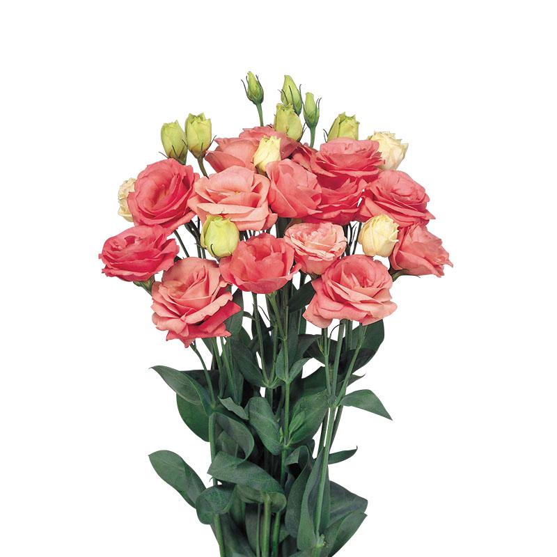 Lisianthus Rosita 2 Rose Pink