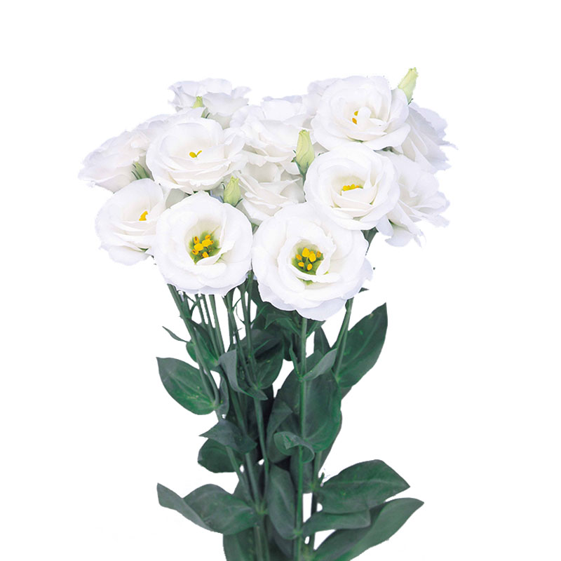 Lisianthus Rosita 2 White
