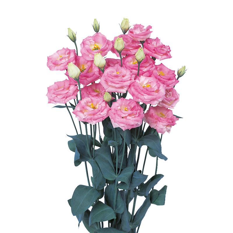Lisianthus Rosita 3 Pink Flash