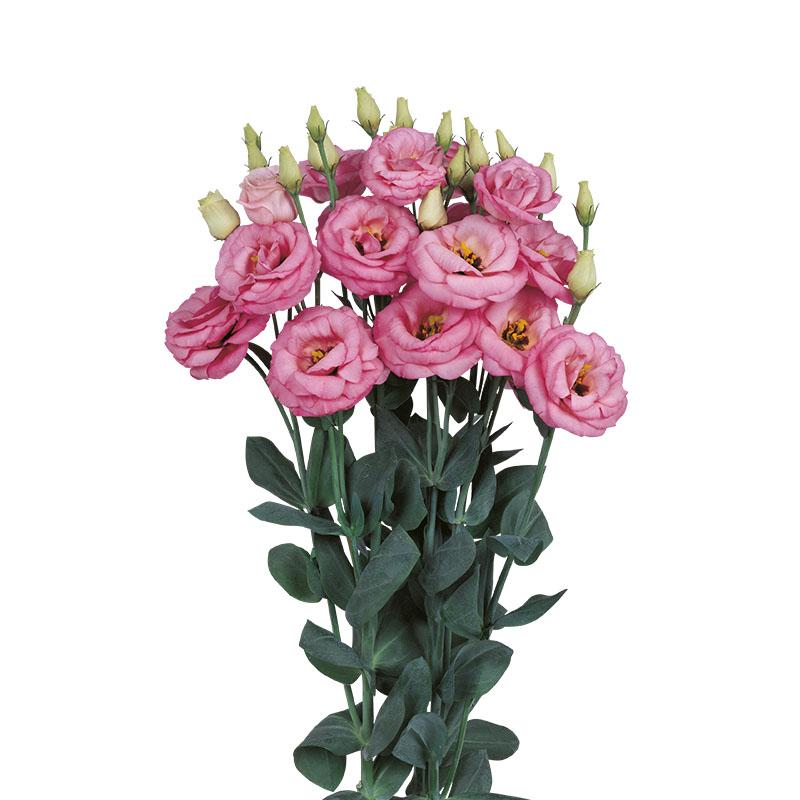Lisianthus Rosita 3 Pink Imp