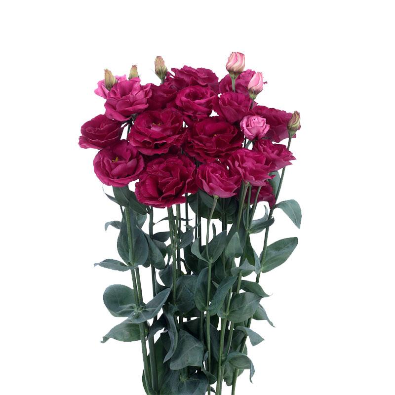 Lisianthus Rosita 3 Red