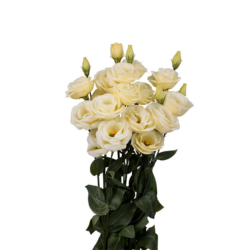 Lisianthus Rosita 3 Yellow Imp