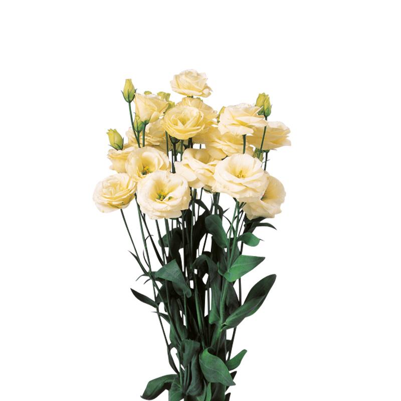 Lisianthus Rosita 2 Yellow