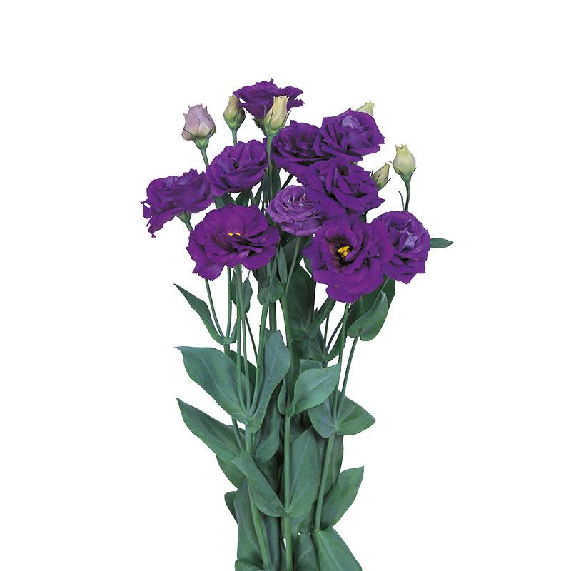 Lisianthus Rosita 4 Blue