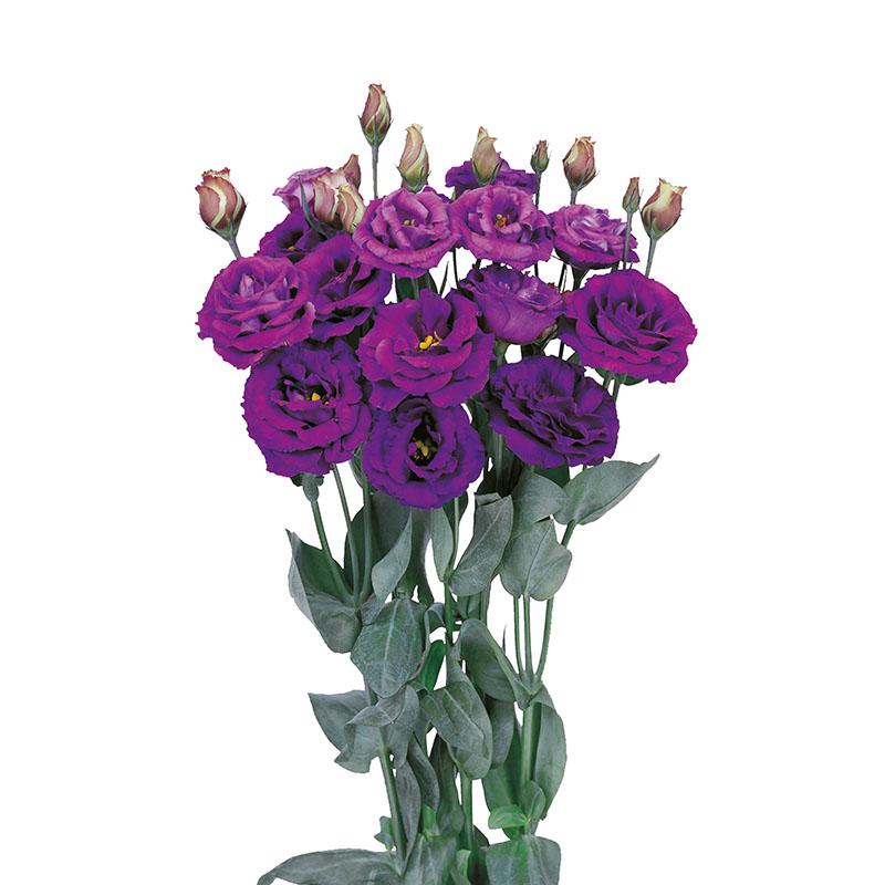 Lisianthus Rosita 4 Purple