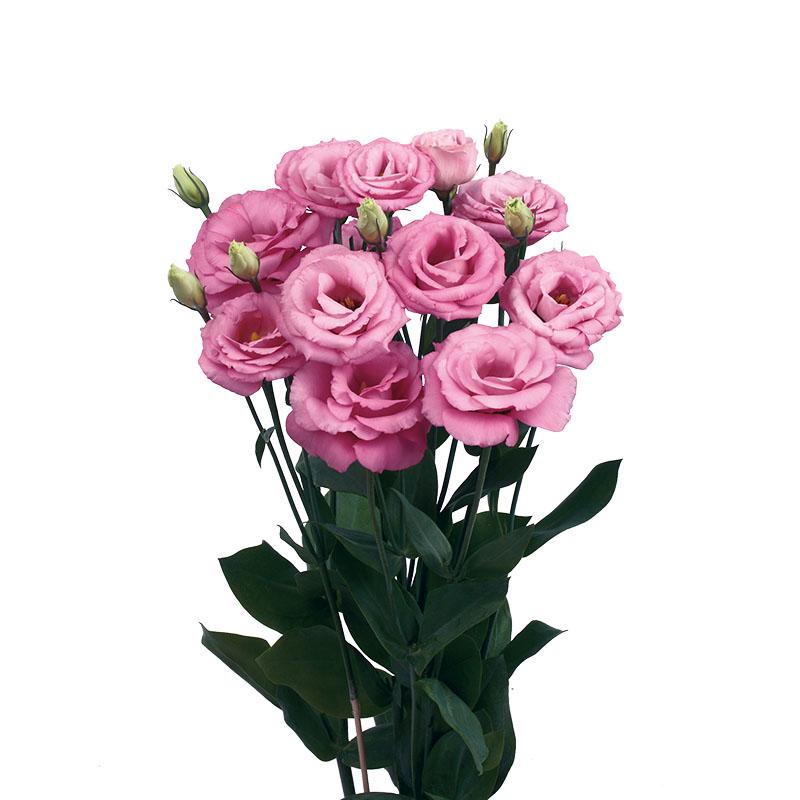 Lisianthus Rosita 4 Rose Pink